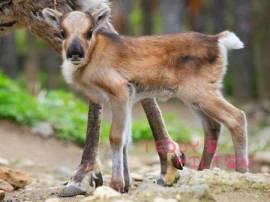 baby-reindeer-at-prague-zoo2-web__oPt