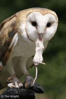 barn_owl_3tfk