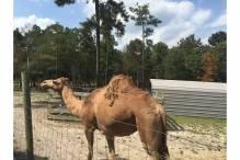 camel at Aloha