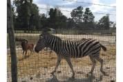 zebra at Aloha
